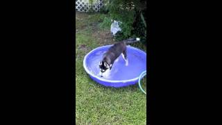 Siberian Husky Plays In Pool