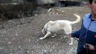 Pehlivan çocuğun Akbaş çoban Köpeğiyle Sınavı