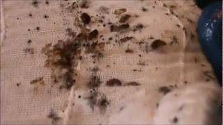 Bed Bug Nightmare !! Bed Bug Control In Clearwater, Fl