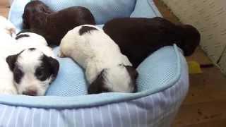 子犬が生まれていますよ http://www.woof.jp/ecs.html 2015年7月18日生...
