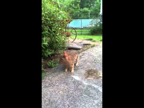 Calling in a wild rabbit