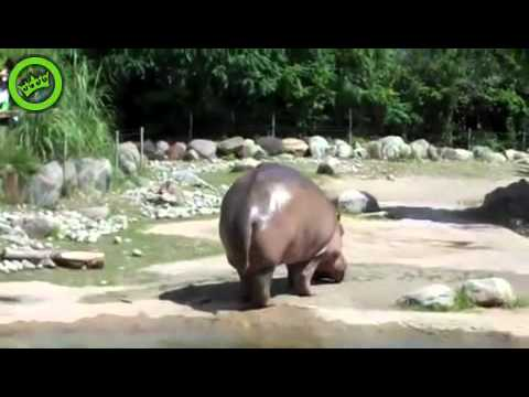 Hippo Butt Explosion - Real video (not edited) - Best poo Video ever