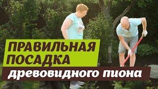 видео Древовидные и Ито пионы: посадка в открытом грунте и уход (фото)