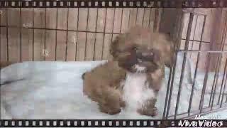 北海道札幌のブリーダー『ぷーどる通り』 飼い主さま募集中のMIX犬の女...
