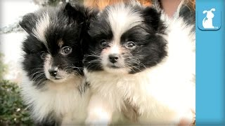 Fuzzy Pomeranian Puppies Hypnotize You (DON'T LOOK AWAY!) - Puppy Love