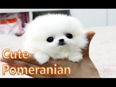 Pomeranian World's cutest puppy ever!! - 2