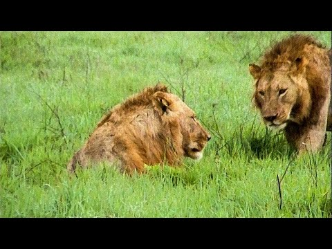 Extraordinary Lion Hunt Filmed - Attenborough 60 Years In The Wild - BBC Earth