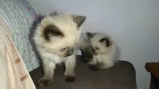 Коты. Котята БАЛИНЕЗ играют!