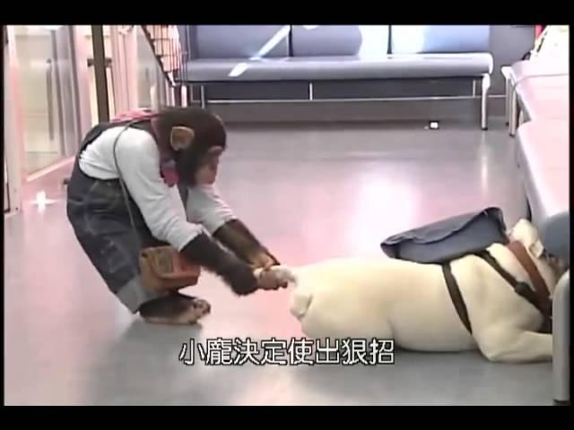 Chó và khỉ thông minh ở nhật bản 2