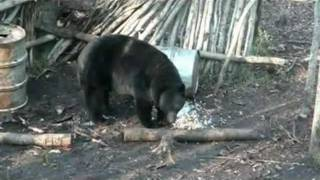 monster 7 9 black bear with 21 12 16 b skull hunting with mike s outfitting