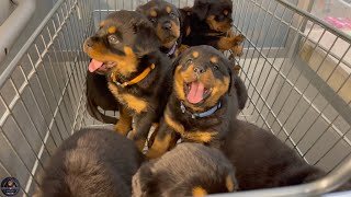 6 Weeks Old Rottweiler Puppies Get Microchips & First Vaccinations