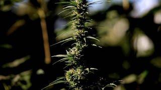 Chile tiene el mayor cultivo de marihuana de Latinoamérica CHV NOTICIAS