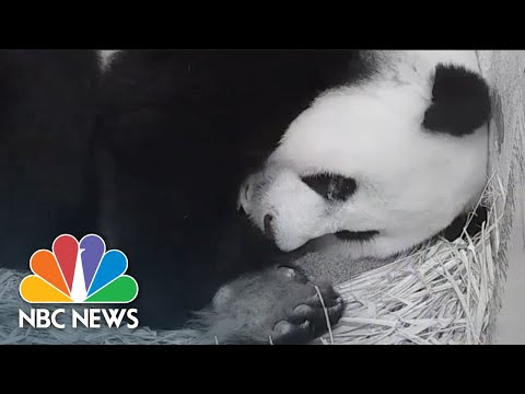 Jackson Daly Gets An Exclusive Look At National Zoo's Giant Panda Cub | Nightly News: Kids Edition