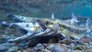 Chum Salmon Spawn!