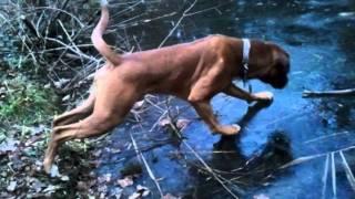 Eddie The Boxer Dog On Ice