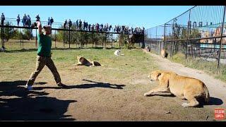 Девчонки из Турции среди львов ! Львица демонстрирует что в Саванне среди львов все по-настоящему!