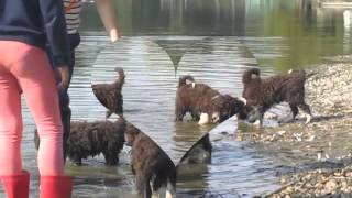 Life with puppies of spanish water dog