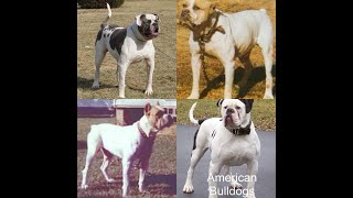 The True History Of American Bulldog aka Plantation dog. Was true White Dogs.