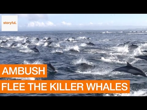 Pod of Dolphins Flee From Killer Whale Ambush (Storyful, Crazy)