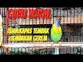 Burung Cucak Kinoi Isian Kapas Tembak Gereja Untuk Masteran  Mp3 - Mp4 Download