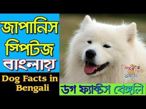Japanese Spitz Dog facts in Bengali | Cute Dog | Popular Dog | Dog Facts Bengali
