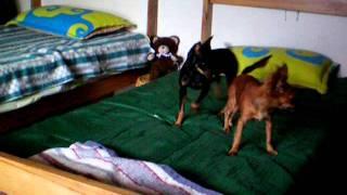 Chihuahua Pelo Largo  Vs  Pincher