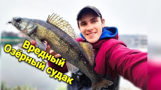 Ловля СУДАКА в Киеве с берега Особенности ловли озёрного судака Вот что нравится судаку ВЕСНОЙ