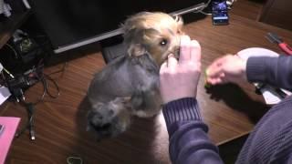 Как правильно расчесать собаку йоркширского терьера (йорка)