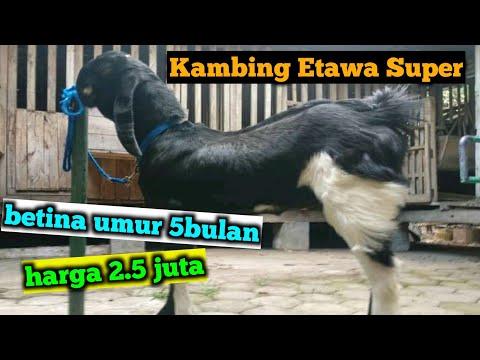 cek-harga-kambing-etawa-super-betina-umur-5-bulan
