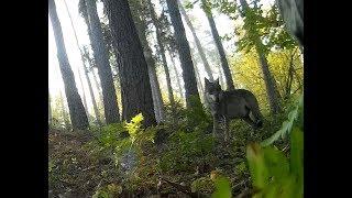 Wilk i jelenie