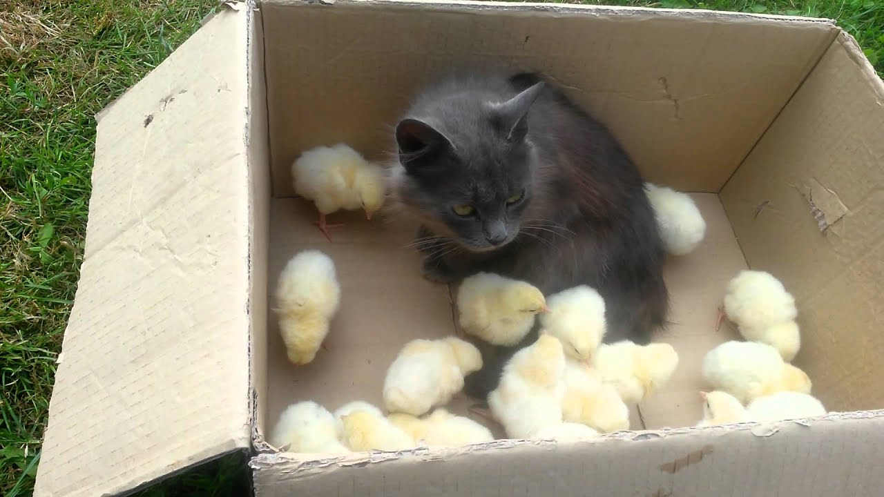 Too cute)))Cat and baby chicks