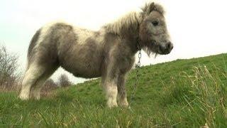 Les chevaux anglais de plus en plus abandonnés