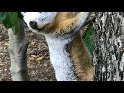 Piebald Fox Squirrel Leucism Albino Fur
