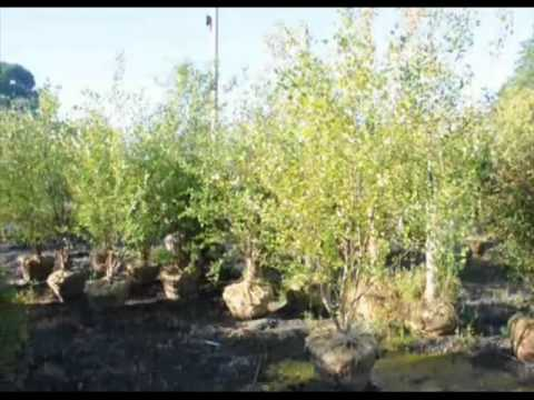Hot Looking Trees as seen on craigslist