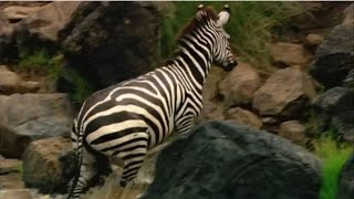 Zebras - A Last Effort | Explora English