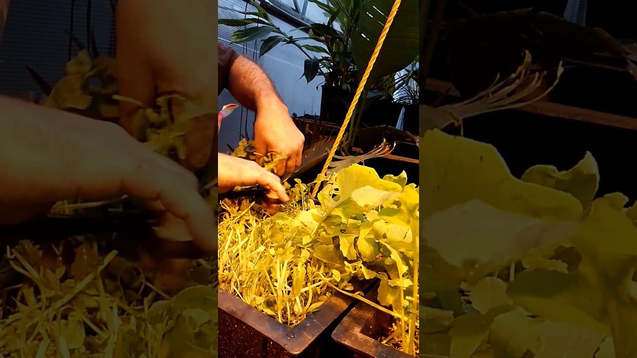 Microgreen Harvest Technic