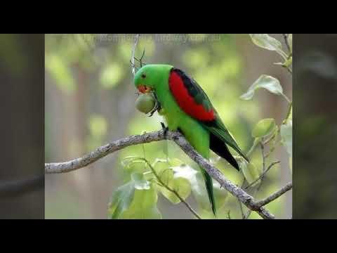 Краснокрылый попугай. Читать описание.