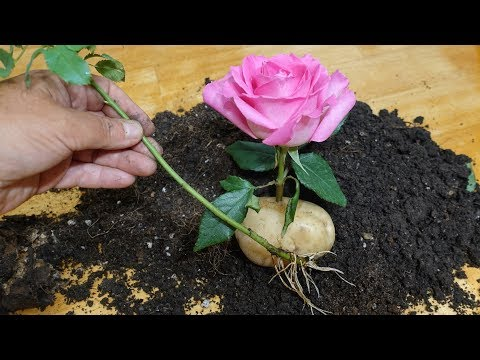 Как посадить розу из черенка в картошке