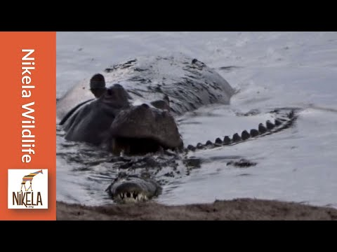 Thumbnail: Watch what happens when this hippo gets playful with a crocodile
