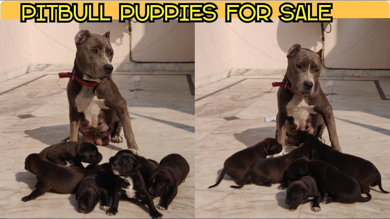 Pitbull Mastiff Puppies For Sale High Quality Pups Very Rare