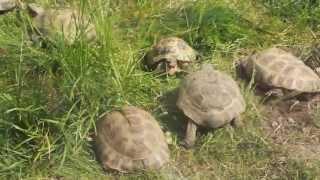 Агрессивные черепахи