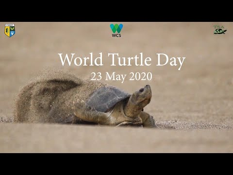 Restoring the Burmese Roofed Turtle in the Chindwin River