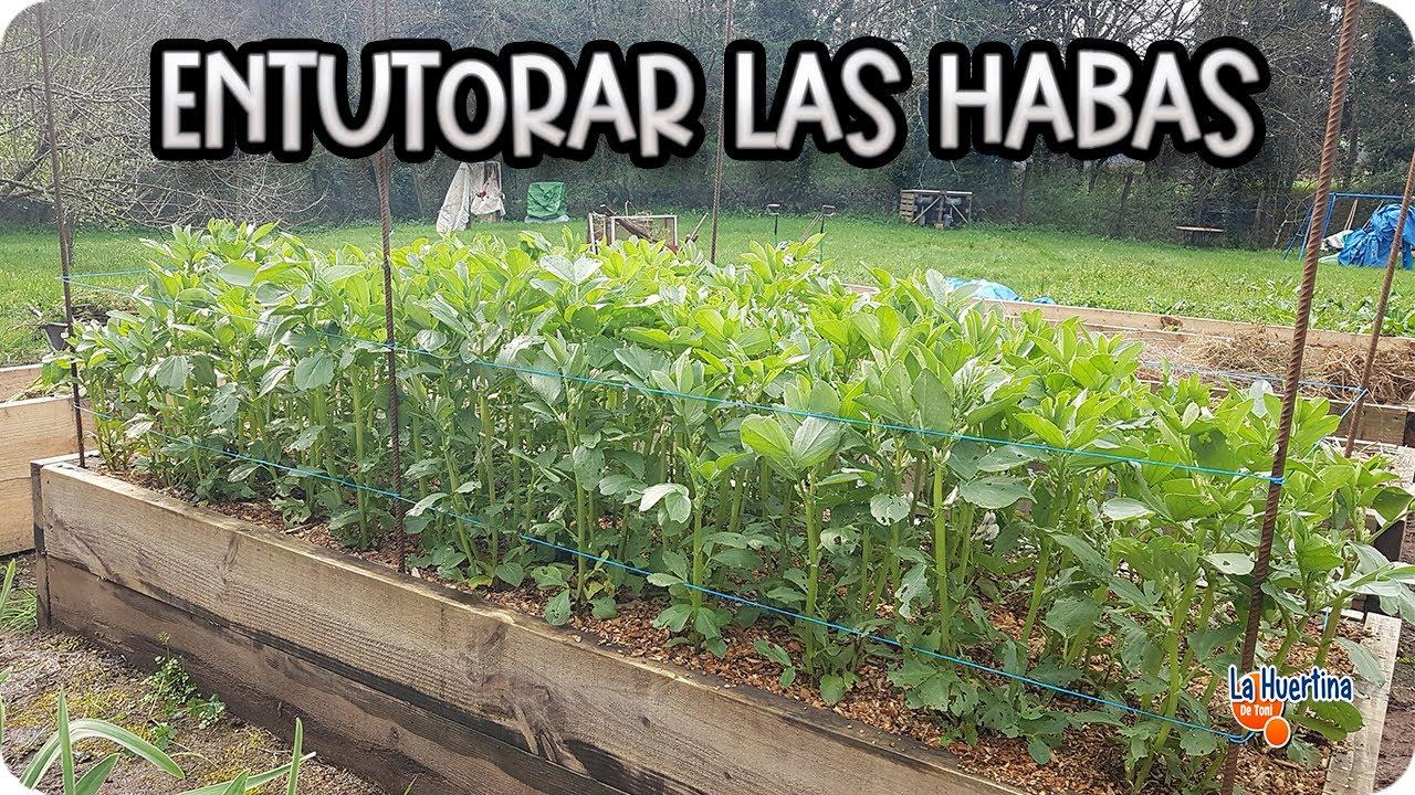 Cuidados y entutorado de las habas huerto organico - Como preparar unas judias verdes ...