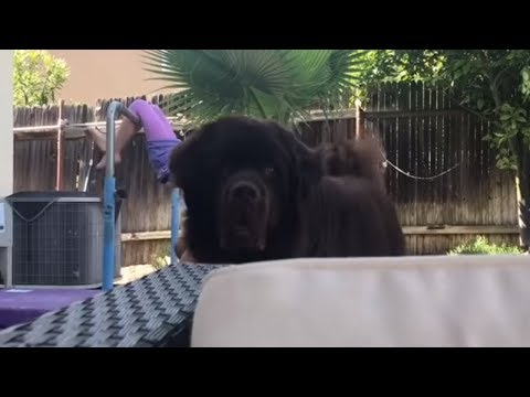 Little girl's nanny dog spots the camera
