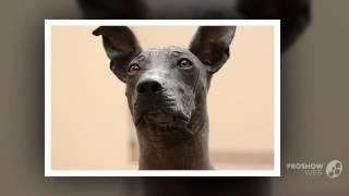 Перуанская голая собака порода собак
