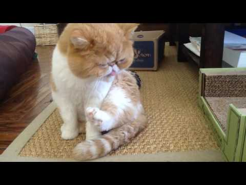 Cat Video: Exotic shorthair cat's tail cleaning and pedicure