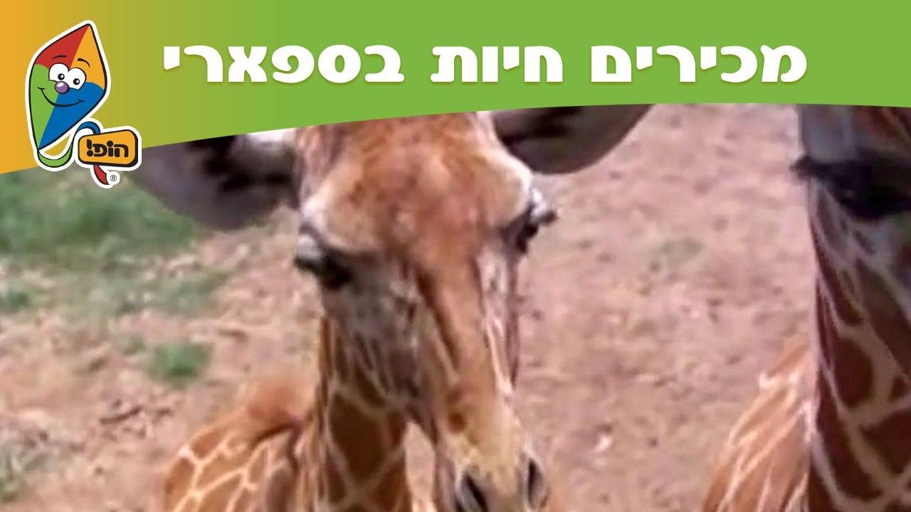 מכירים חיות בספארי: ג'ירפה - מסלול הופ! בספארי