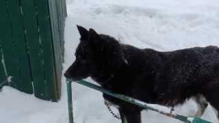 dog Lord Siberian | пёс Лорд сибиряк
