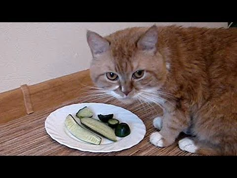 Felix The Vegetarian Cat Mp4 Funnycat Tv