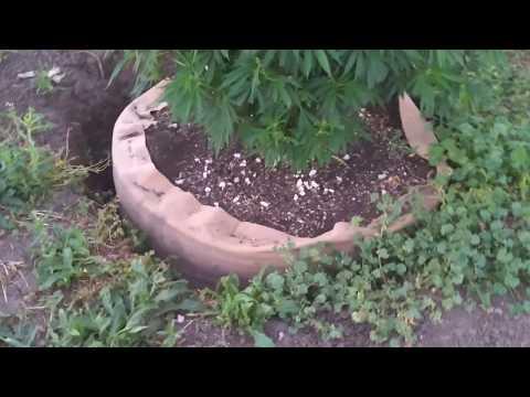 Growing Cannabis with Tyler: Week 5 outdoor; Week 3 indoor